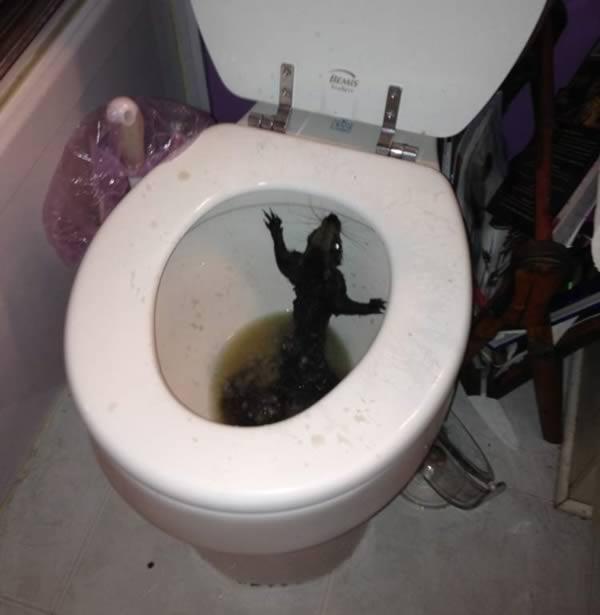 Rat dans la toilette